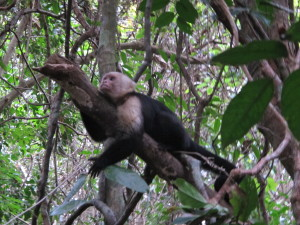 White Faced Monkey at Manuel Antonio National Park