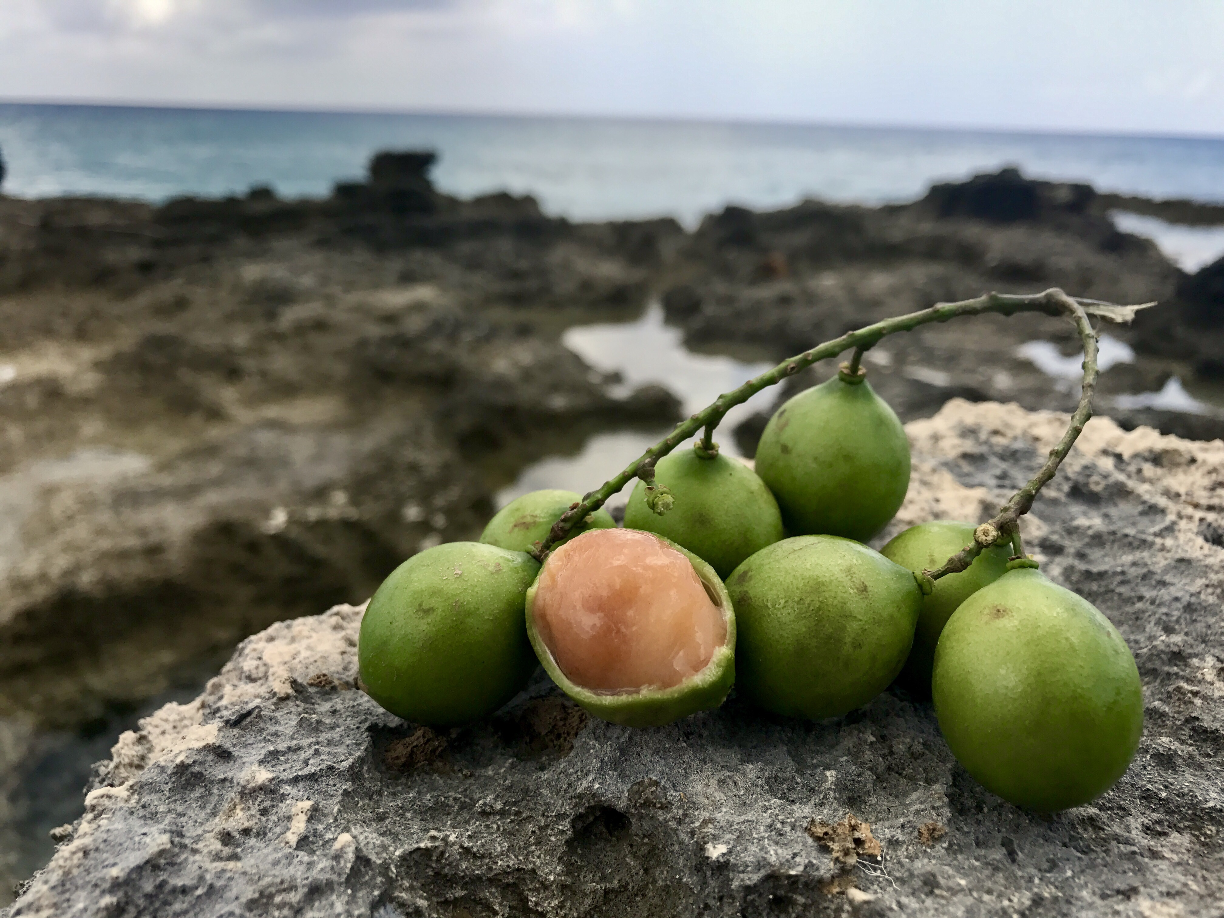 Tropical fruits of the Caribbean – Plants & Healers International